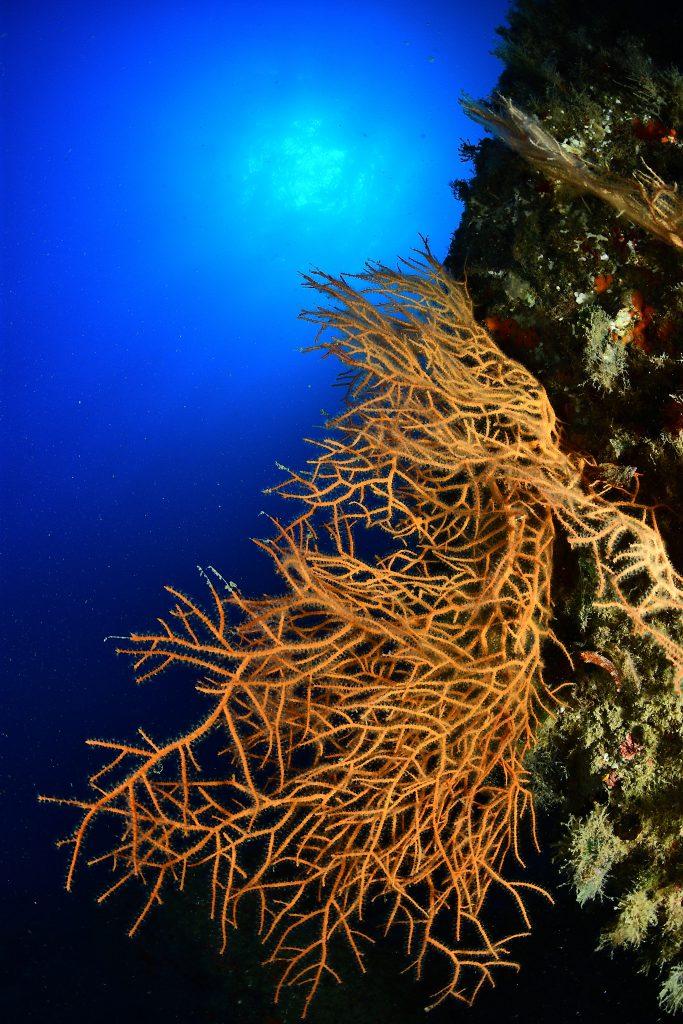 Buceo en Mataro gorgonia amarilla en mataro