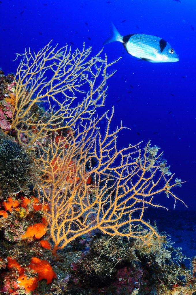 Inmersiones en Maresme Gorgonia amarilla con Sargo