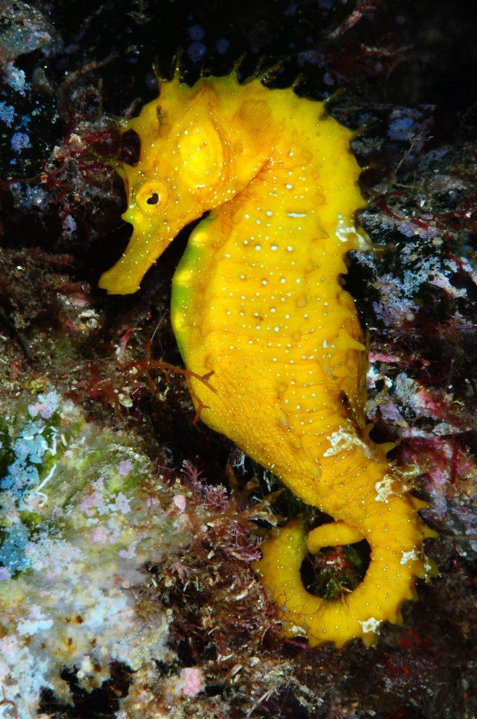 buceo en platja d'aro Caballito de mar amarillo