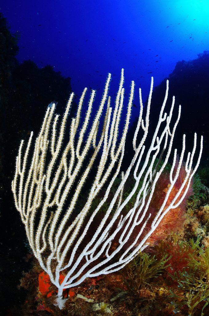buceo en platja d'aro Gorgonia Blanca