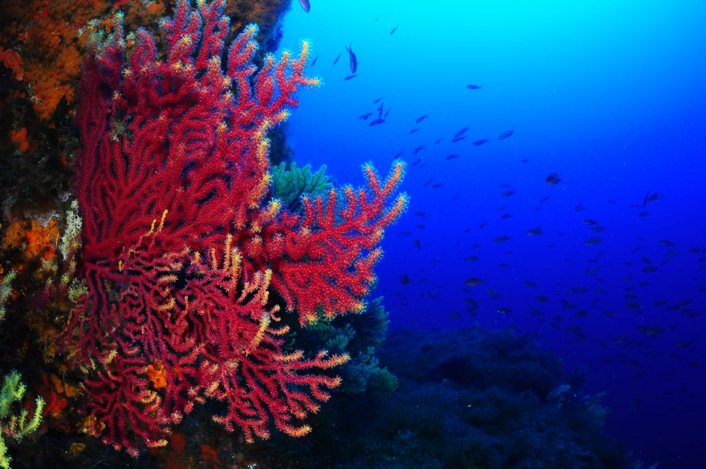 Gorgonias rojas con bancos de peces