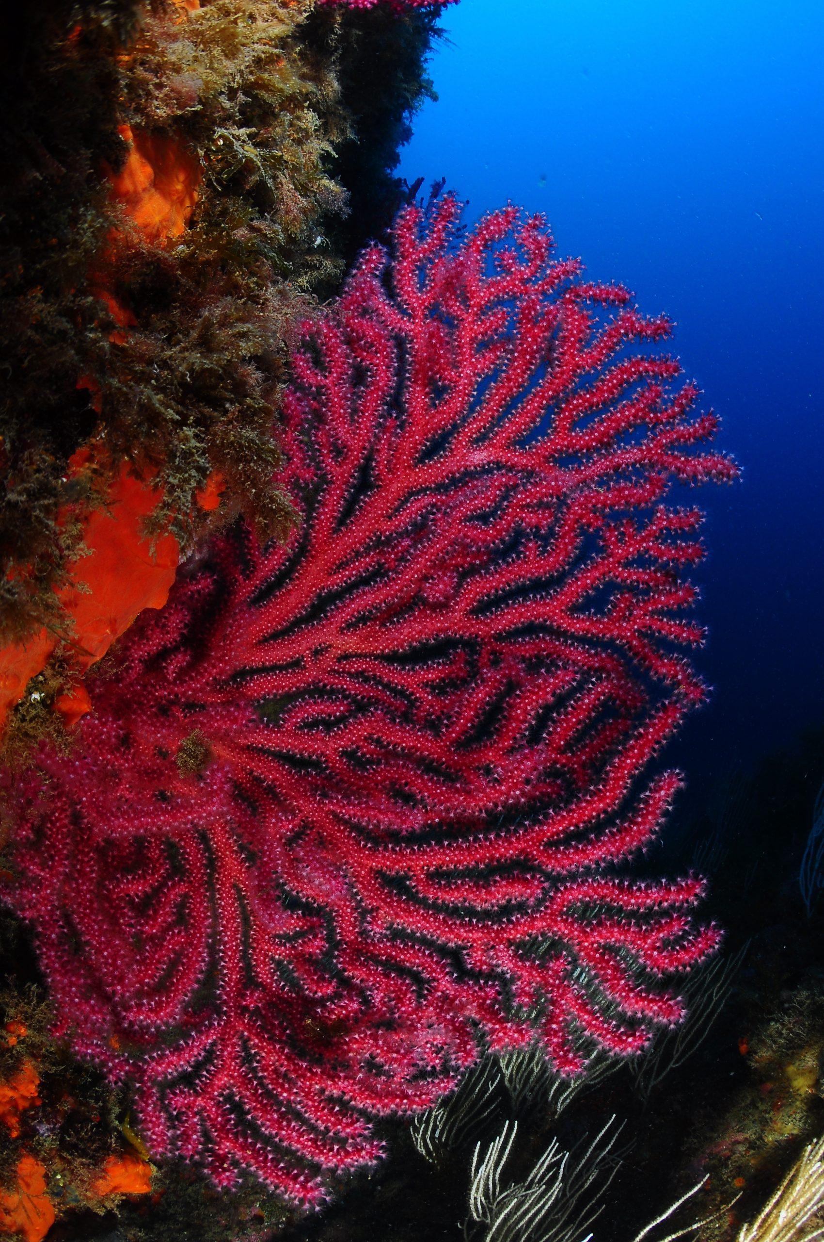 gorgonia roja caracteristica del port de la selva