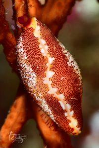 Ciprea buceo en Mataro
