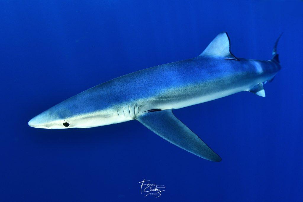 buceo con tiburones en bermeo