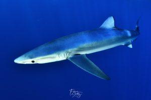 Tiburon azul, Bermeo MakoPako